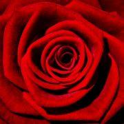رز قرمز - گل شقایق