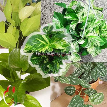 گیاه پتوس و انواع مختلف آن