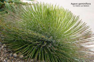 آگاو geminiflora