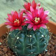 گل دهی کاکتوس