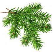 برگ درخت کاج