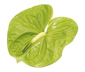 آنتوریوم-سبز