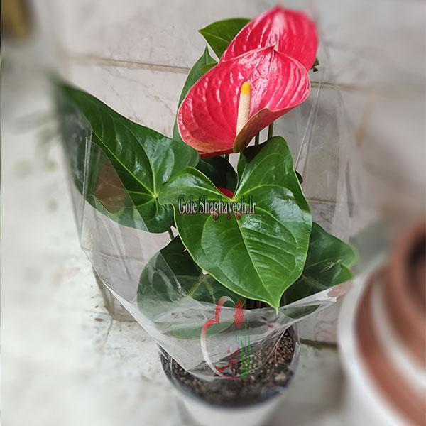 گلدان-آنتریوم-قرمز