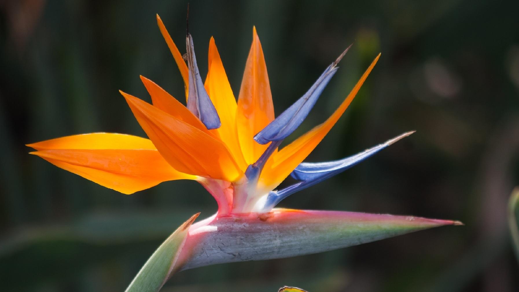 گل bird-of-paradise