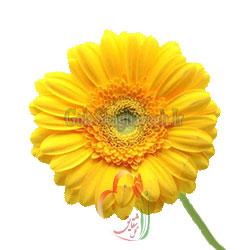 ژربرا-زرد