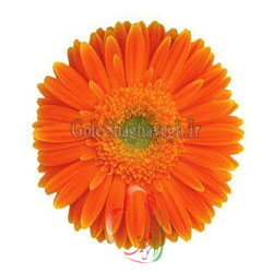 ژربرا-نارنجی