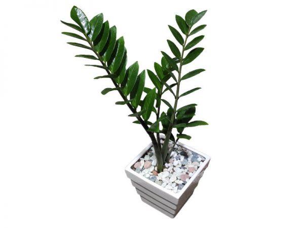 گل-زاموفیلیا