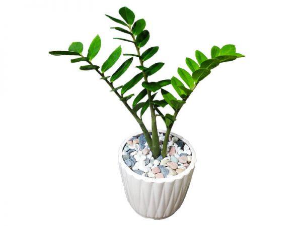 گیاه-زاموفیلیا